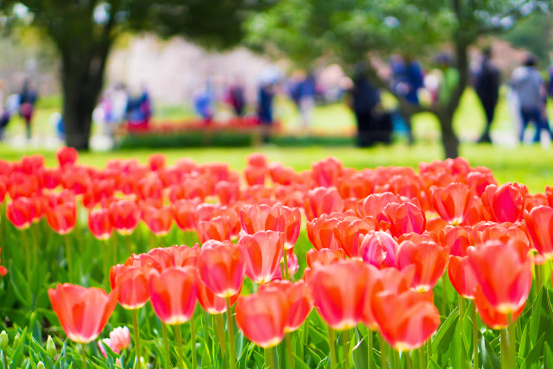 昭和記念公園 チューリップ 写真18