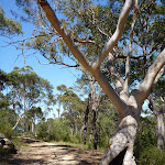 Scribbly gum beside trail North of Naa Badu Lookout (352379)