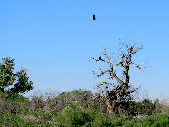Eagles in a dead cottonwood