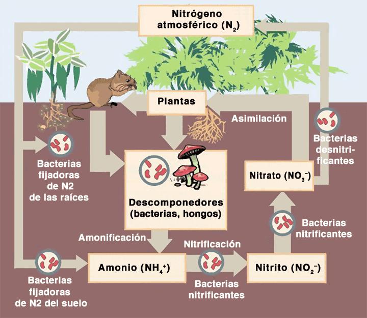 Elementos basicos para nuestras plantas nitrogeno for Potasio para plantas