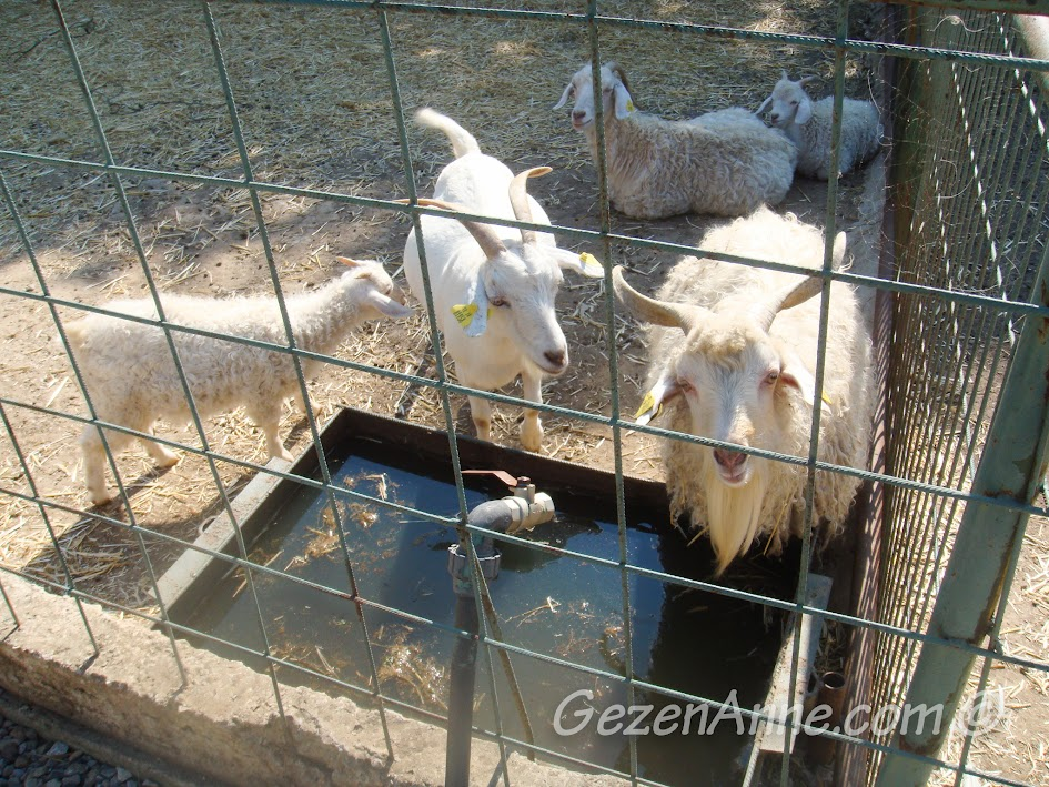Polonezköy Piknik Park'taki keçiler