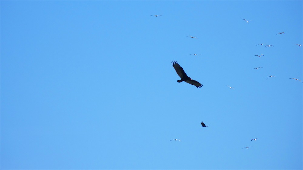 Vultures and Gulls 2.jpg