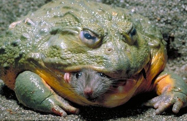 Curiosidades del reino animal: La rana toro es capaz de devorar ...