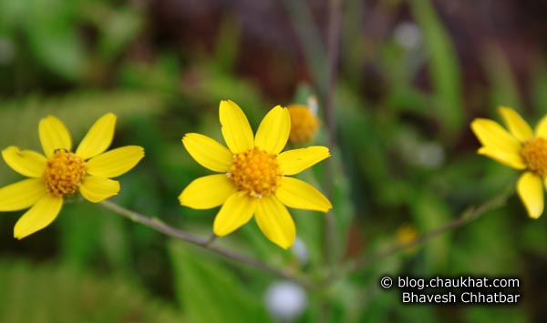 3 Daisies at the Kas Plateau