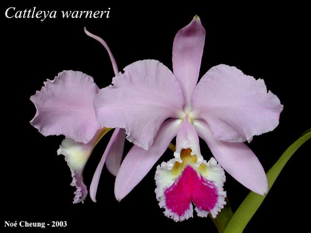 Растения из Тюмени. Краткий обзор - Страница 3 Cattleya%252520warneri