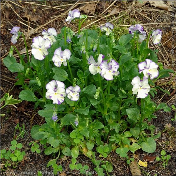 Viola cornuta 'Rebecca' - Fiołek rogaty pokrój
