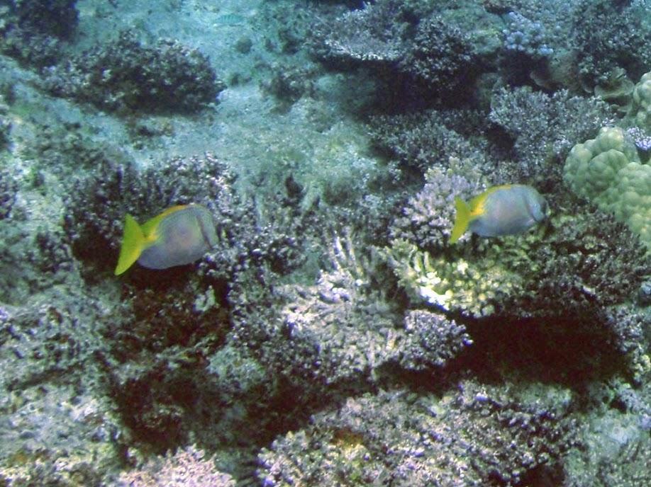 Siganus doliatus (Barred Rabbitfish), Naigani Island, Fiji.