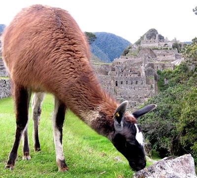 Llama grazing in the ruins in Machu Picchu Peru