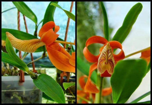 Dendrobium unicum 2014-05-032