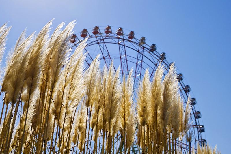 ひたち海浜公園 パンパスグラス 写真2