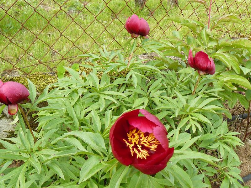 Des floraisons au jardin ... P1030254