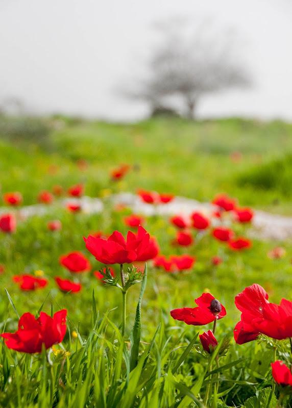 wild anemones in Israel
