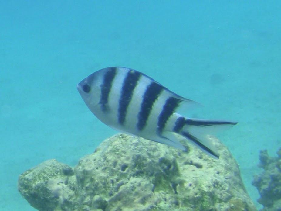 Abudefduf sexfasciatus (Scissortail Sergeant Damselfish), Rarotonga.