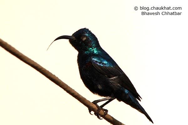 Tongue of a male Purple Sunbird [Cinnyris asiaticus] with his eyes closed