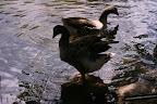 foto de patos en el lago