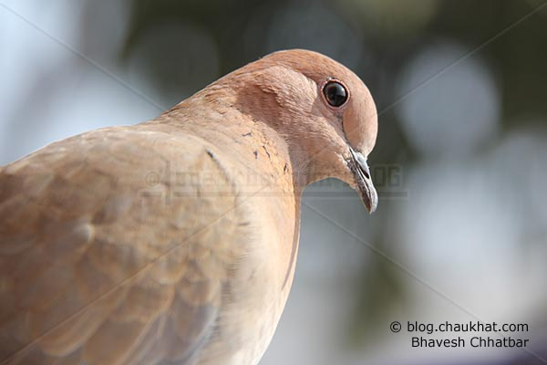 Close-up of Laughing Dove [Stigmatopelia senegalensis] - Little Brown Dove