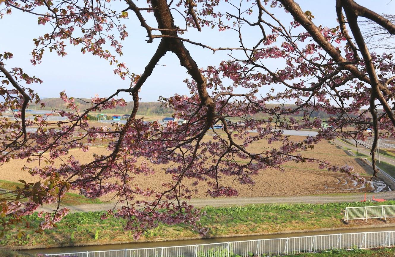 公園から張り出す桜と田園のマッチング