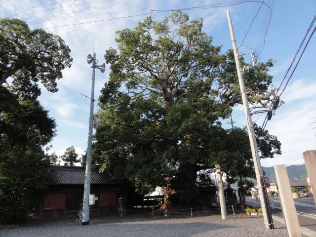 東海道五十三次 須賀神社の楠