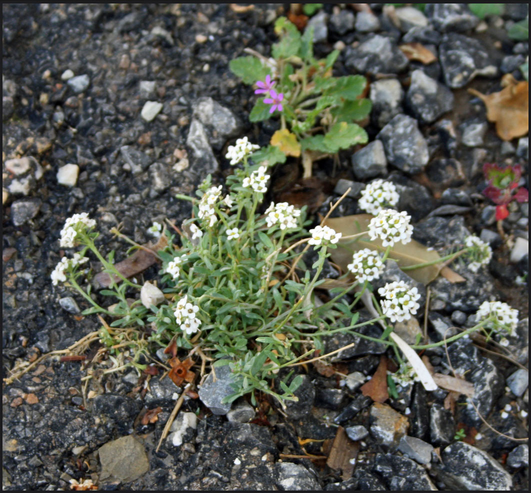 Alyssum salvaje en Altea --- Alyssum growing wild in Altea | Flores ...