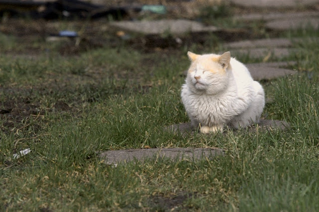 wet feral tomcat Whitey sunning himself to dry off