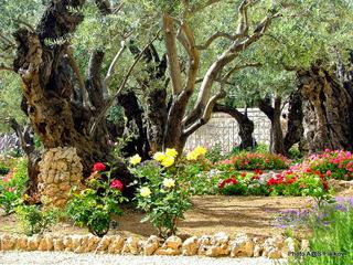 Гефсиманский сад. Экскурсия Иерусалим православный. Гид в Иерусалиме Светлана Фиалкова.