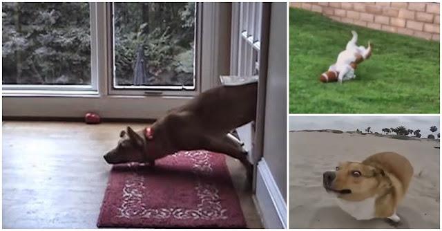 Videos Engraçados de animais: Compilação hilariante de falhanços de câes