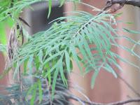 https://lh5.googleusercontent.com/-OiNCdfkJnI0/T3ReljX2TaI/AAAAAAAAAIg/icuKmt4qKmA/s1600/Silver+Oak+Tree+-+Leaf.jpg