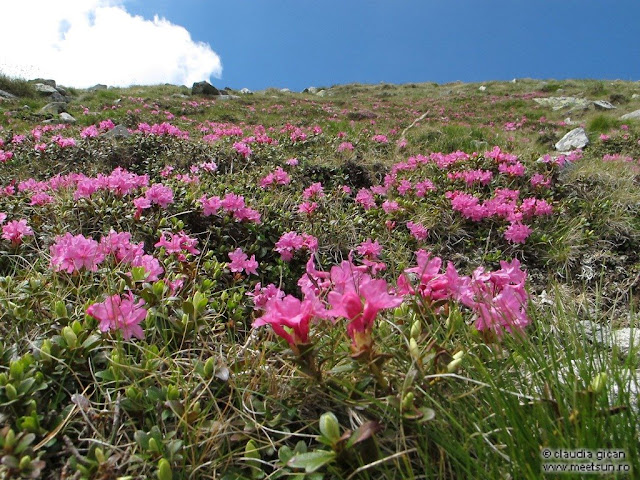 Retezat Trail Race - bujor de munte sau rododendron