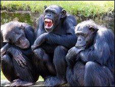 ekspresi wajah simpanse