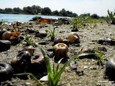 plajă în deltă - altfel de melci