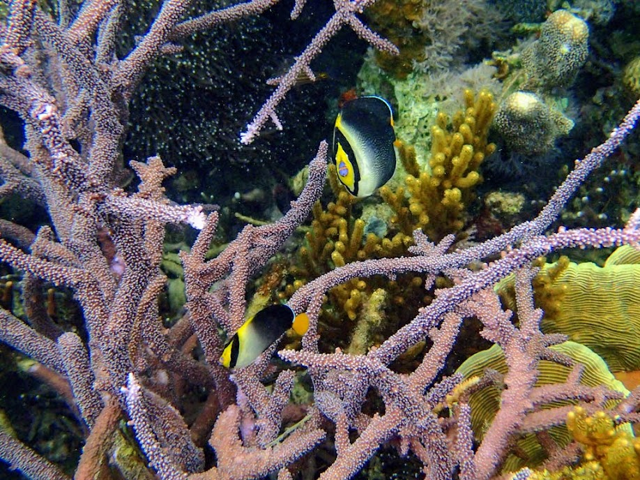Chaetodontoplus mesoleucus (Vermiculated Angelfish), Sand Island, Palawan, Philippines.