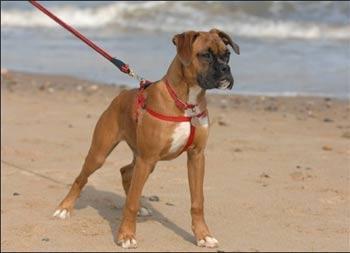 ANIMAL COLLECTION: NEED BOXER DOG MALE