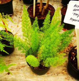 Szparag Sprengera Asparagus densiflorus 'Meyeri'