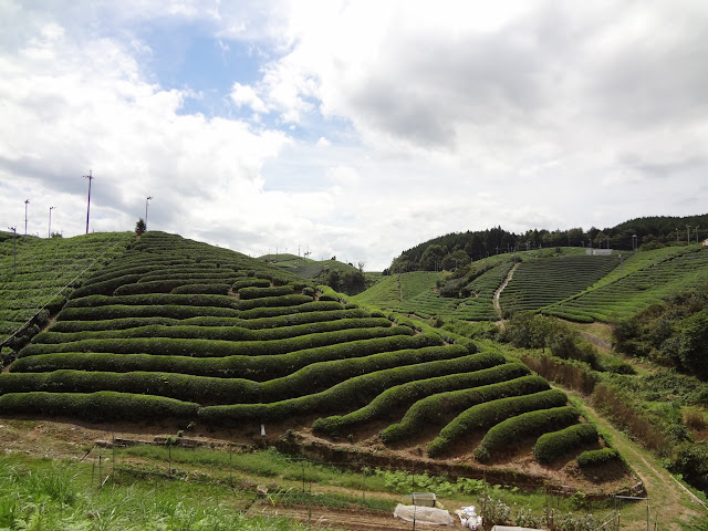 Rolling green tea fields outside Uji