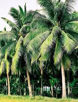 Cây dừa - cảnh quan bờ nước