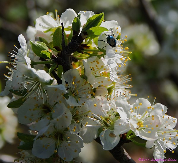 Green fly on apple tree flower
