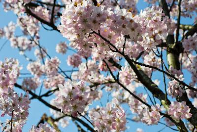 blooming cheery tree