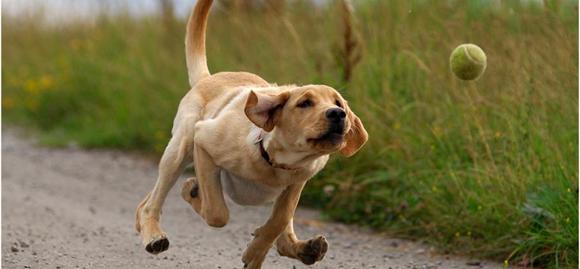 Cão buscando a bola