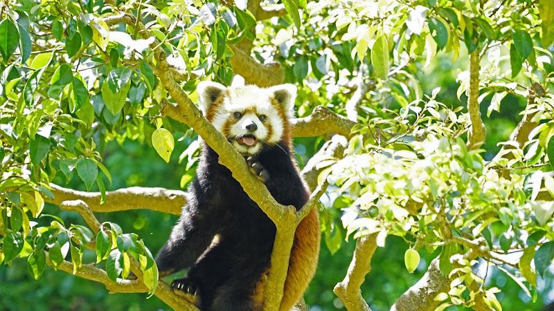 多摩動物公園 レッサーパンダ 写真1