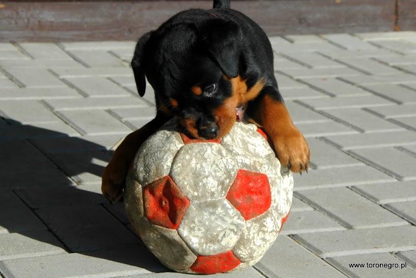 Rottweiler suka mała z piłeczką
