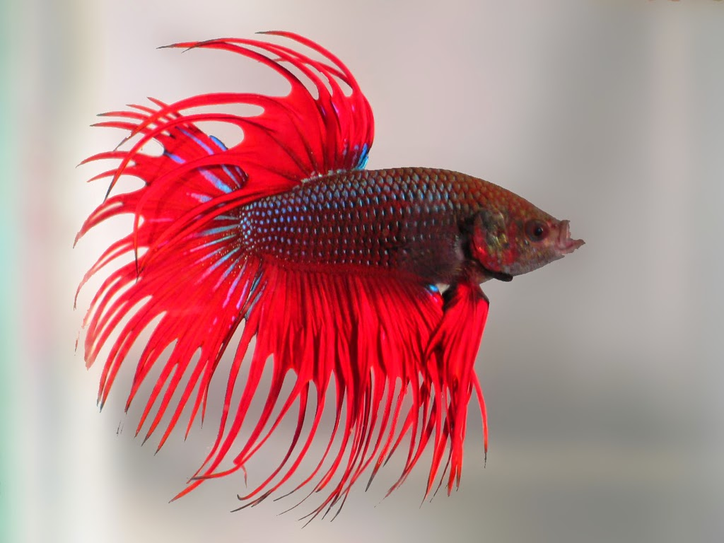 Life Expectancy of Betta Fish | Betta Fish Life