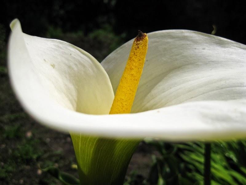 Calla-Blume