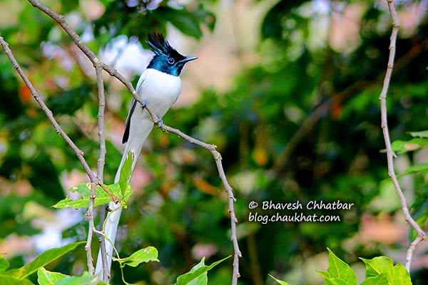 Beautiful Asian Paradise Flycatcher