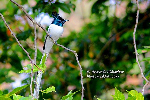 Beautiful Asian Paradise Flycatcher