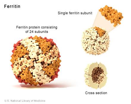 ferritina