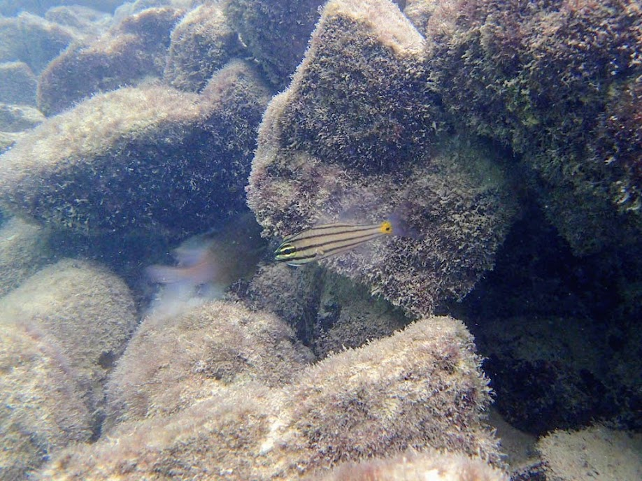 Cheilodipterus quinquelineatus (Five-lined Cardinalfish) holding eggs or fry, Miniloc Island Resort reef, Palawan, Philippines.