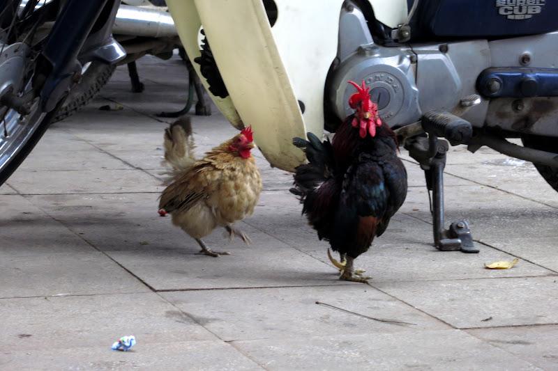 Bantam chickens, Old Quarter