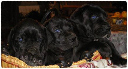 bébés dogues