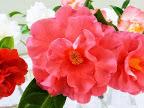 サーモンピンク 八重咲き 極大輪