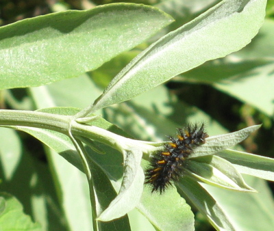 caterpillar on white sage